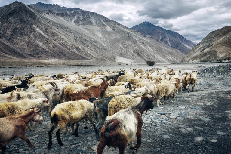 herd_of_sheep_in_mountains