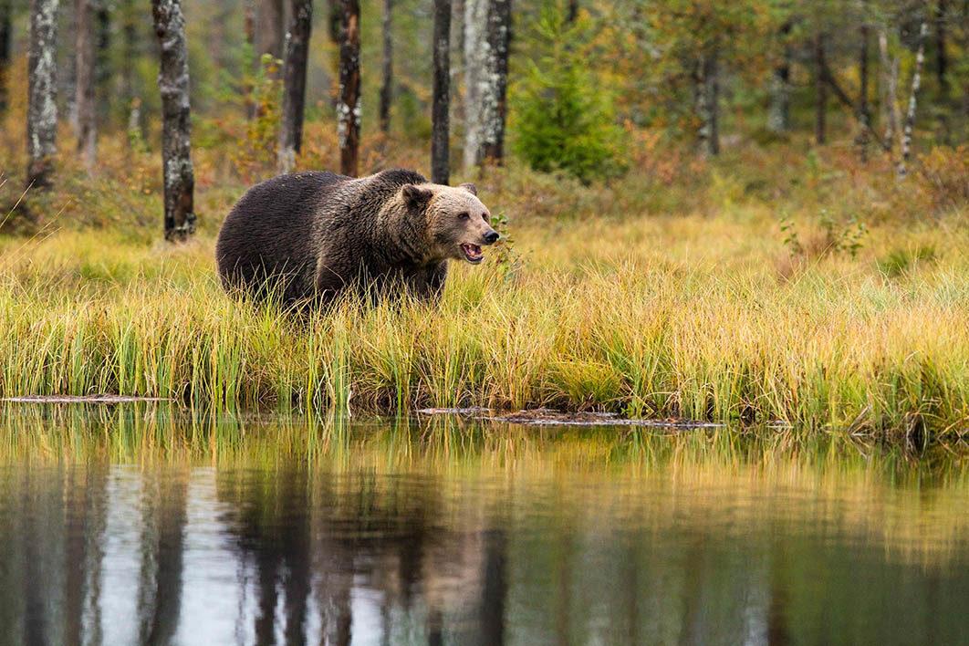 bear_in_meadows